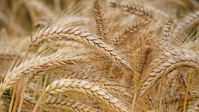 Wheat is one of the major agricultural crops for the conterminous United States. Photo Credit: Pixabay